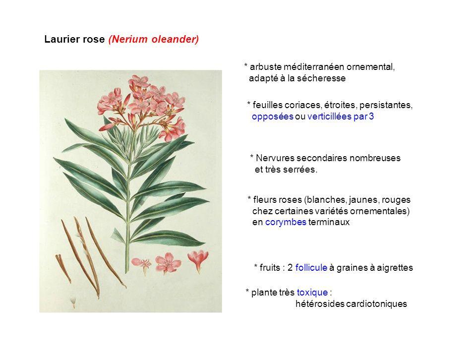 Laurier rose (Nerium oleander)