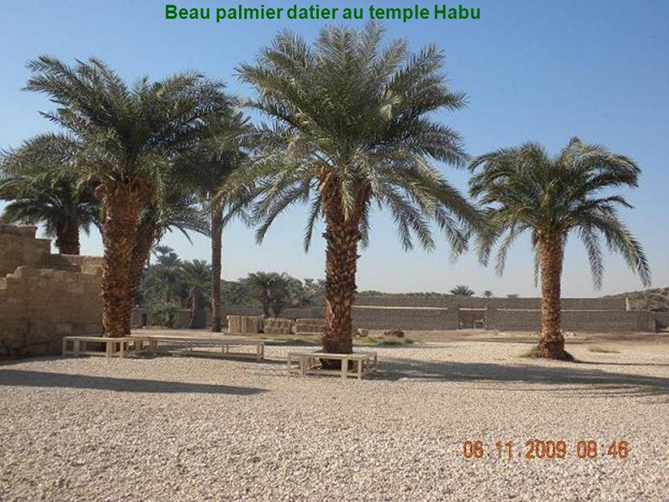 Beau palmier datier au temple Habu