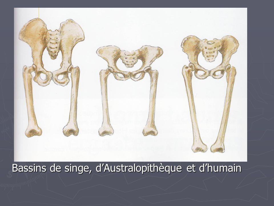 Bassins de singe, d'Australopithèque et d'humain