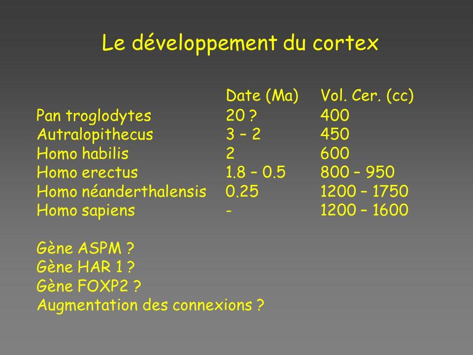 Le développement du cortex