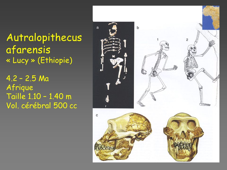 Autralopithecus afarensis « Lucy » (Ethiopie) 4.2 – 2.5 Ma Afrique
