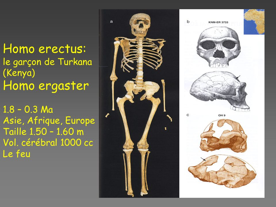 Homo erectus: Homo ergaster le garçon de Turkana (Kenya) 1.8 – 0.3 Ma