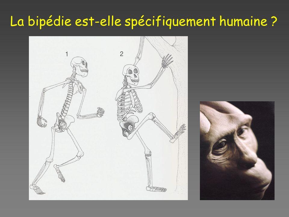 La bipédie est-elle spécifiquement humaine