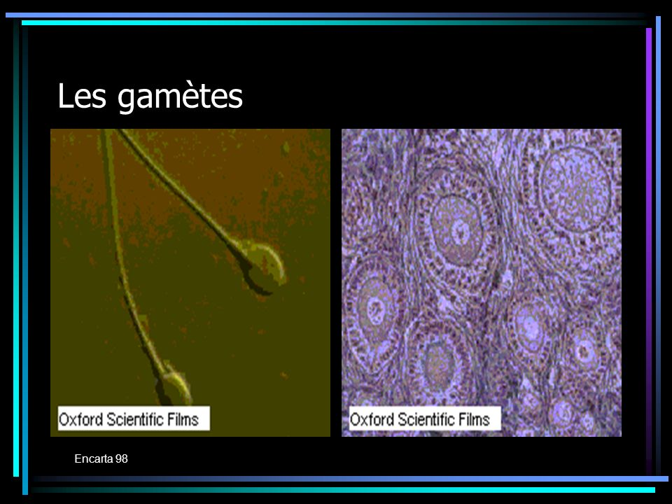Les gamètes Encarta 98 Encarta 98