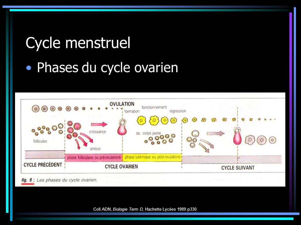 Cycle menstruel Phases du cycle ovarien