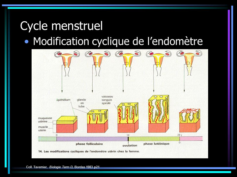 Cycle menstruel Modification cyclique de l'endomètre