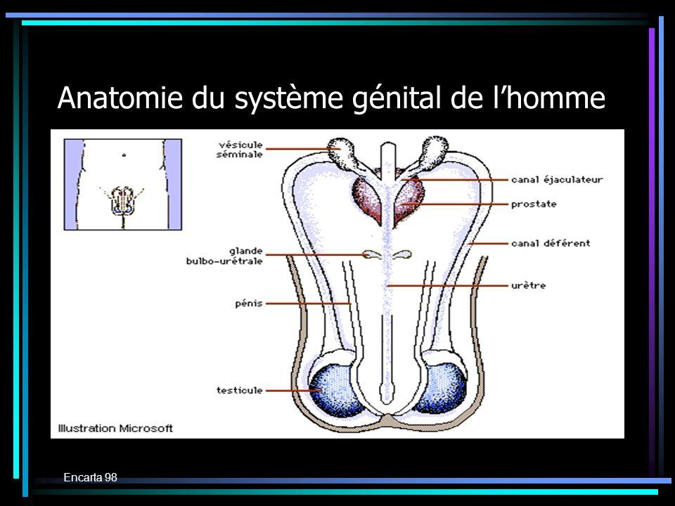 Anatomie du système génital de l'homme