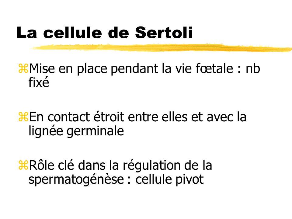 La cellule de Sertoli Mise en place pendant la vie fœtale : nb fixé