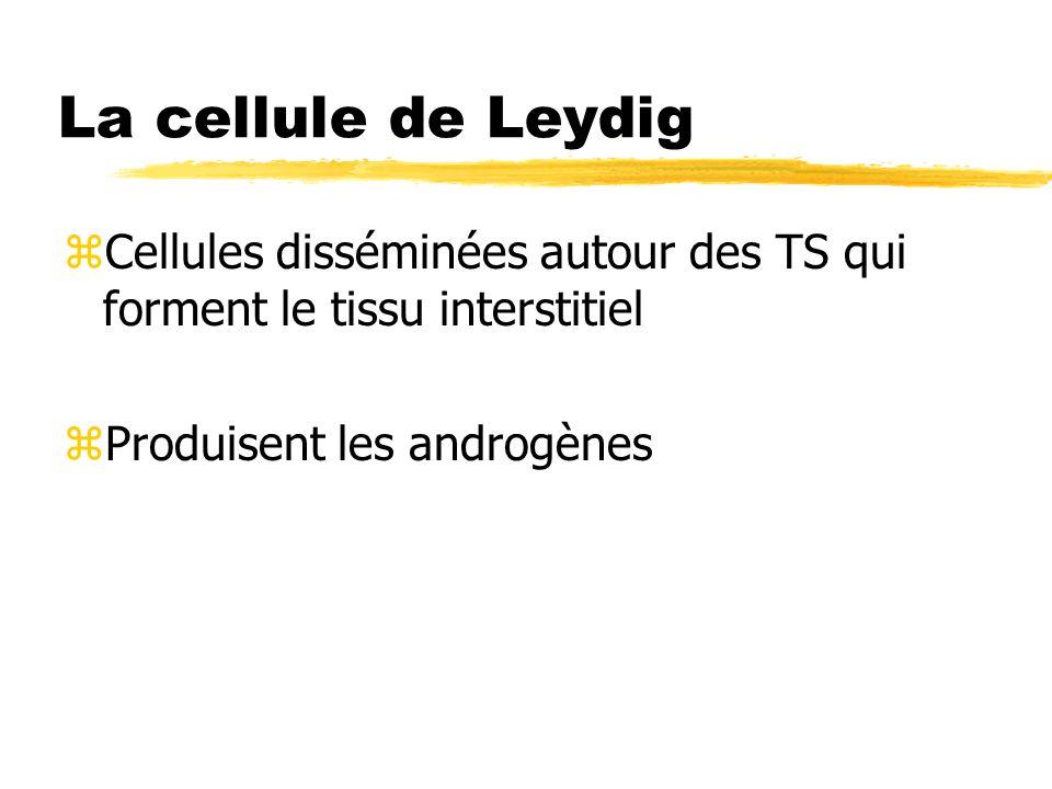 La cellule de Leydig Cellules disséminées autour des TS qui forment le tissu interstitiel.