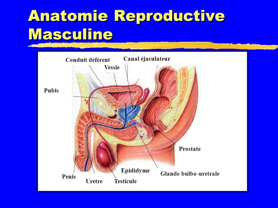 Anatomie Reproductive Masculine