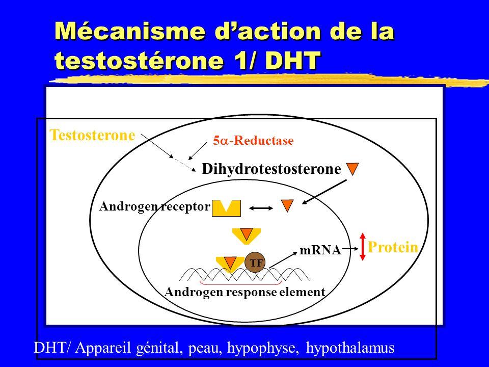 Mécanisme d'action de la testostérone 1/ DHT