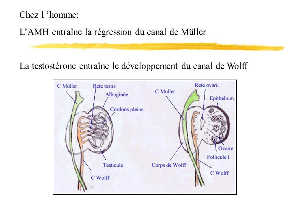 Chez l 'homme: L'AMH entraîne la régression du canal de Müller.