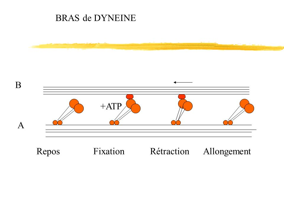 BRAS de DYNEINE +ATP B A Repos Fixation Rétraction Allongement