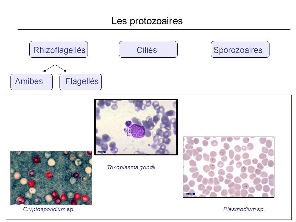 Rhizoflagellés Ciliés Sporozoaires