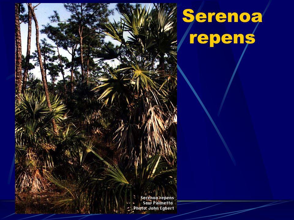 Serenoa repens