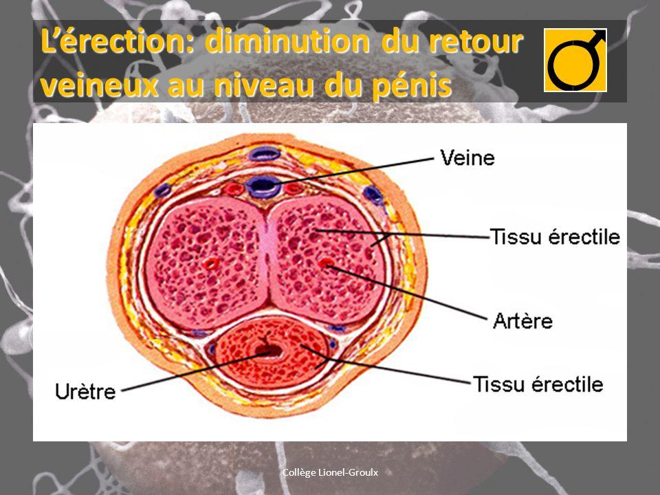 L'érection: diminution du retour veineux au niveau du pénis