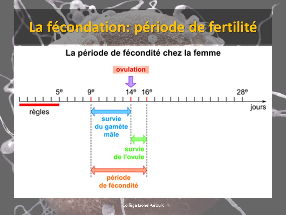 La fécondation: période de fertilité