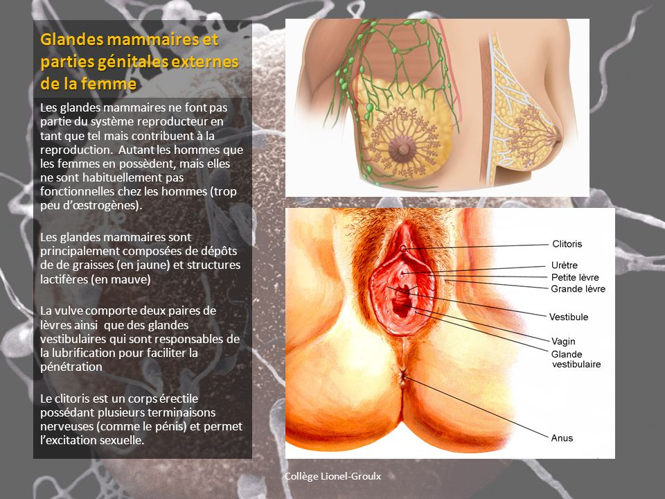 Glandes mammaires et parties génitales externes de la femme