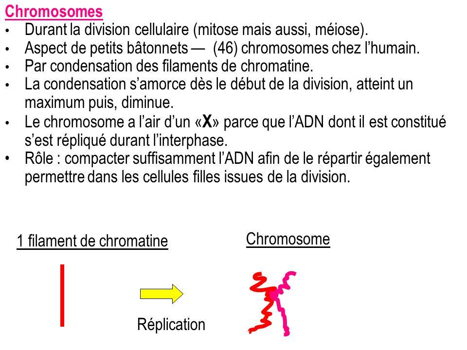 Chromosomes Durant la division cellulaire (mitose mais aussi, méiose). Aspect de petits bâtonnets — (46) chromosomes chez l'humain.