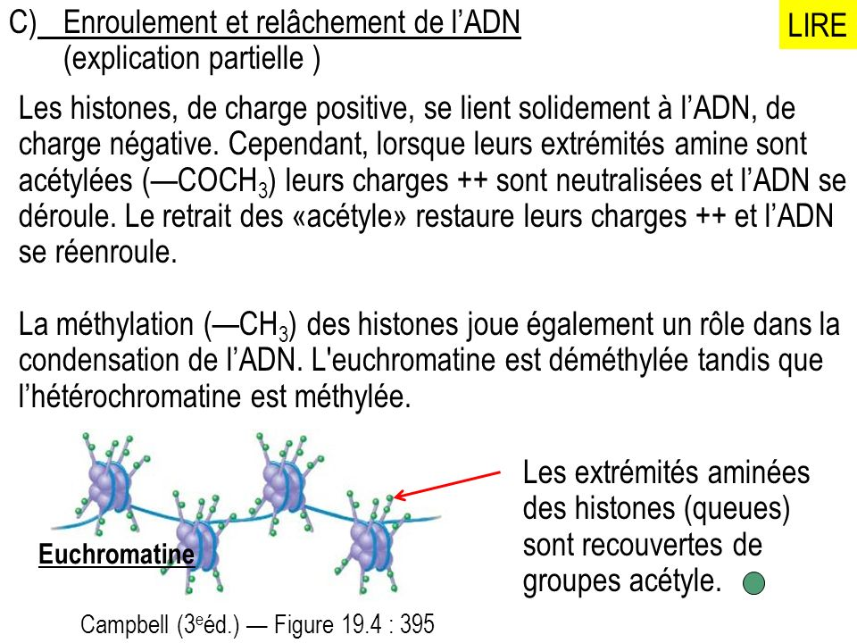 C) Enroulement et relâchement de l'ADN (explication partielle ) LIRE