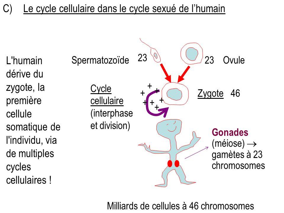 C) Le cycle cellulaire dans le cycle sexué de l'humain