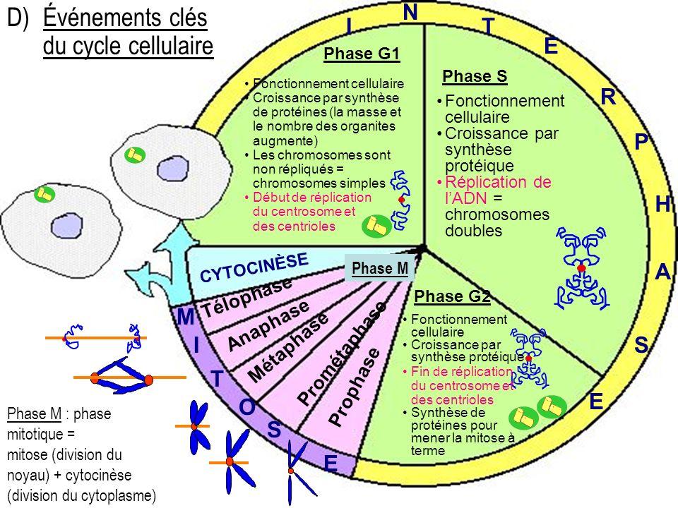 D) Événements clés du cycle cellulaire