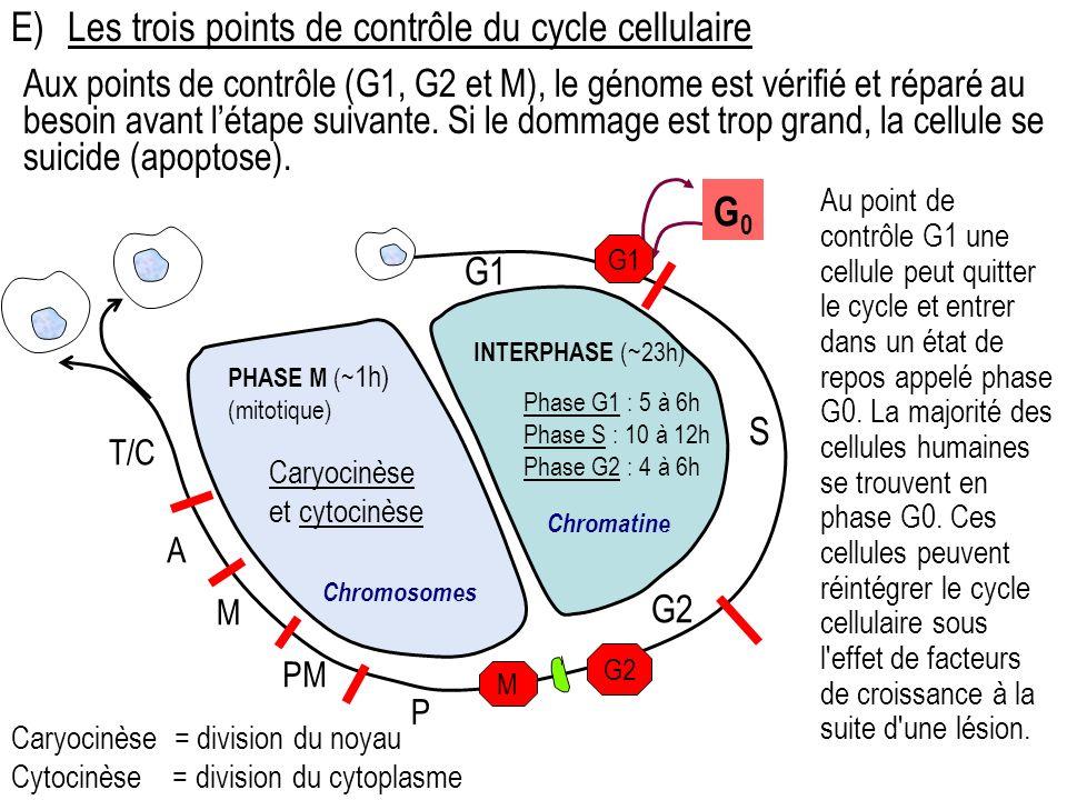 E) Les trois points de contrôle du cycle cellulaire