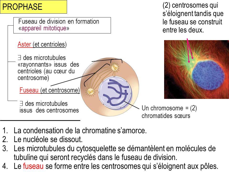 PROPHASE La condensation de la chromatine s'amorce.