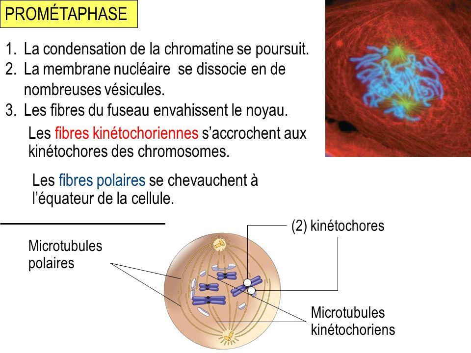 PROMÉTAPHASE La condensation de la chromatine se poursuit.
