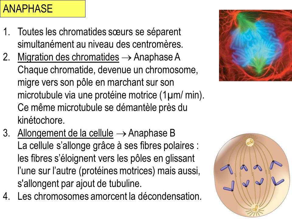ANAPHASE Toutes les chromatides sœurs se séparent simultanément au niveau des centromères.