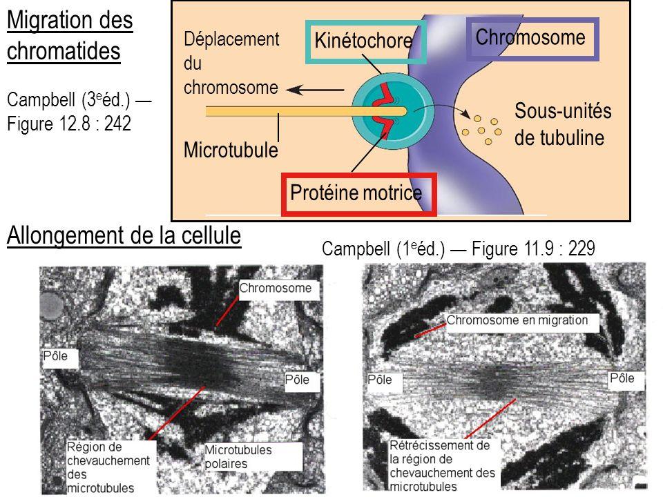 Migration des chromatides
