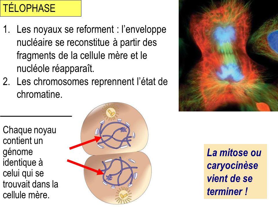 Les chromosomes reprennent l'état de chromatine.
