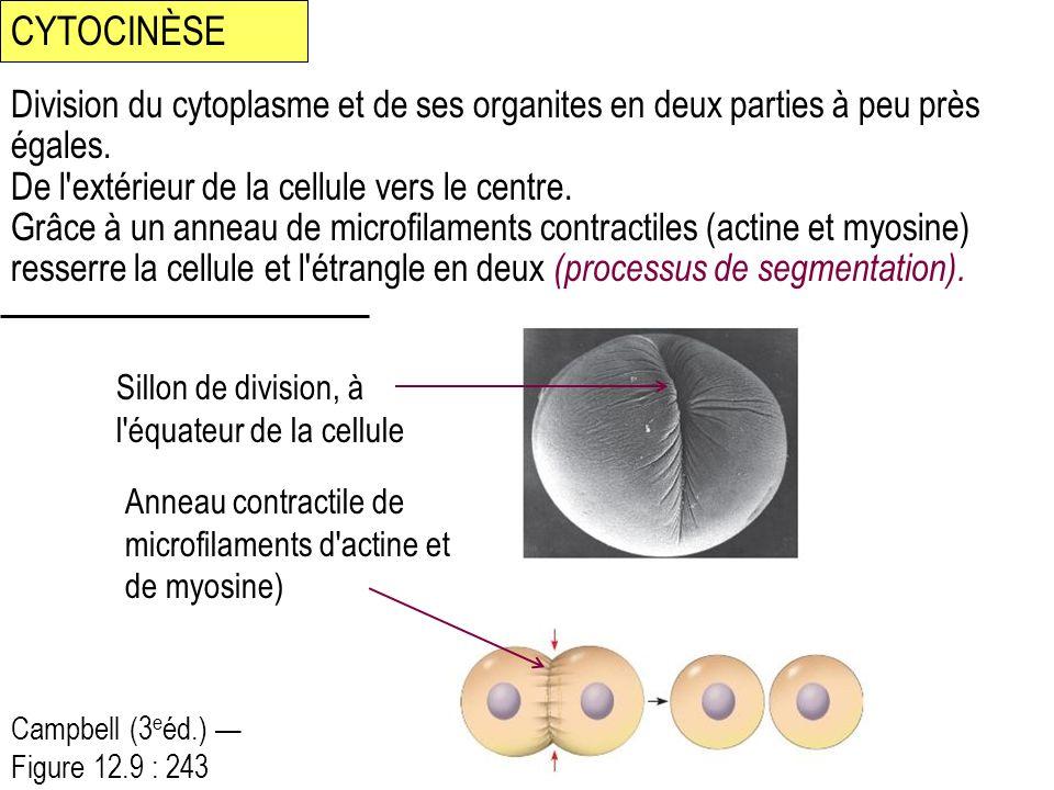 CYTOCINÈSE Division du cytoplasme et de ses organites en deux parties à peu près égales. De l extérieur de la cellule vers le centre.