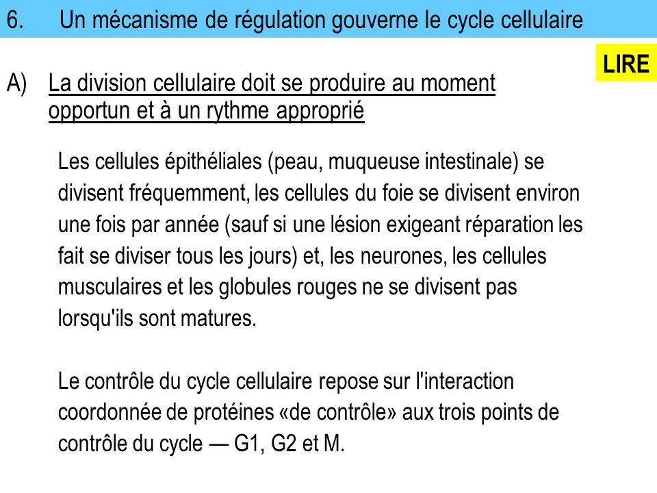 6. Un mécanisme de régulation gouverne le cycle cellulaire