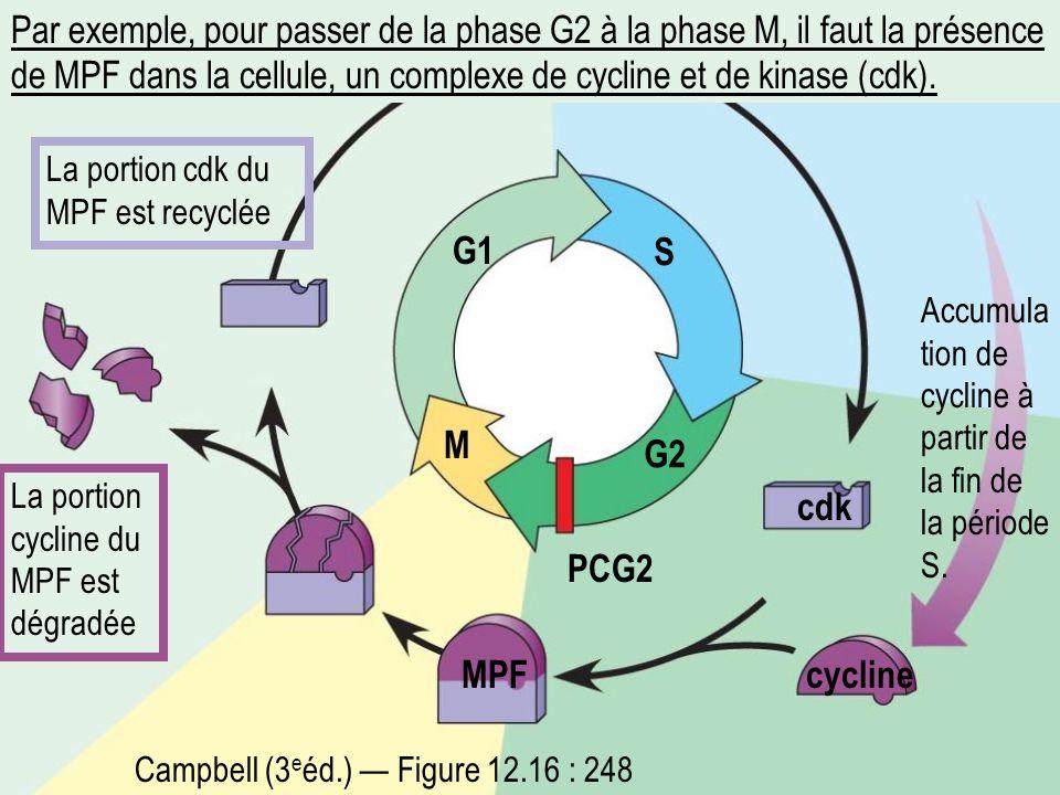 Par exemple, pour passer de la phase G2 à la phase M, il faut la présence de MPF dans la cellule, un complexe de cycline et de kinase (cdk).