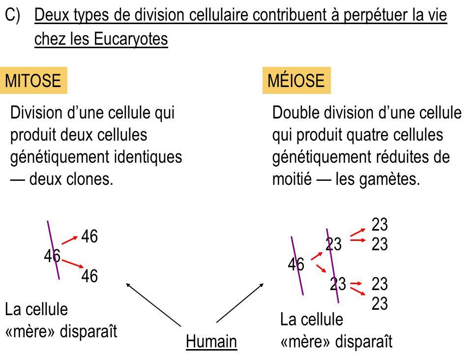C) Deux types de division cellulaire contribuent à perpétuer la vie chez les Eucaryotes