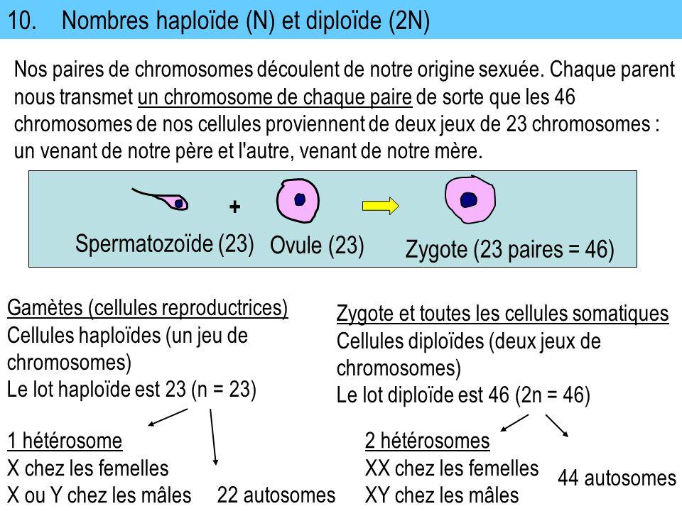 10. Nombres haploïde (N) et diploïde (2N)