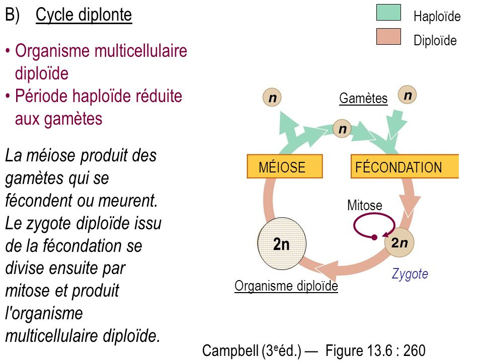 Organisme multicellulaire diploïde