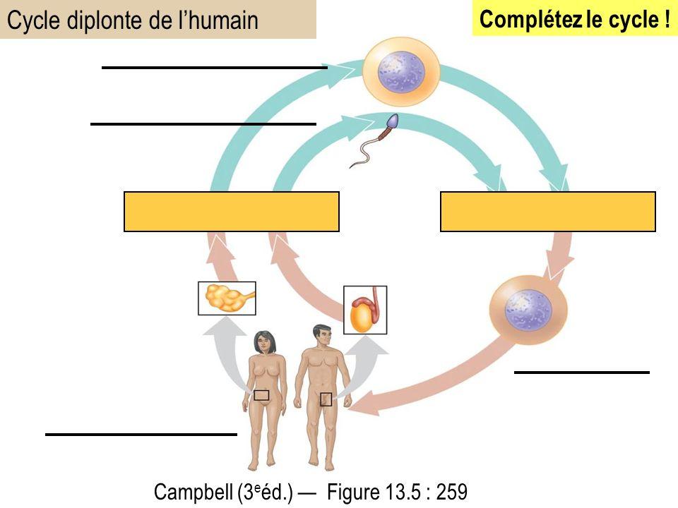 Cycle diplonte de l'humain