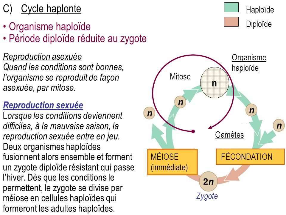 Période diploïde réduite au zygote