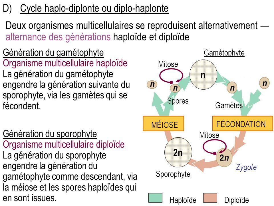 D) Cycle haplo-diplonte ou diplo-haplonte