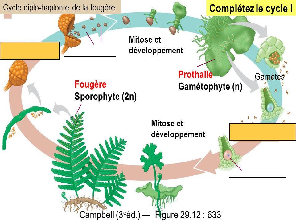 Complétez le cycle ! Prothalle Gamétophyte (n) Fougère Sporophyte (2n)