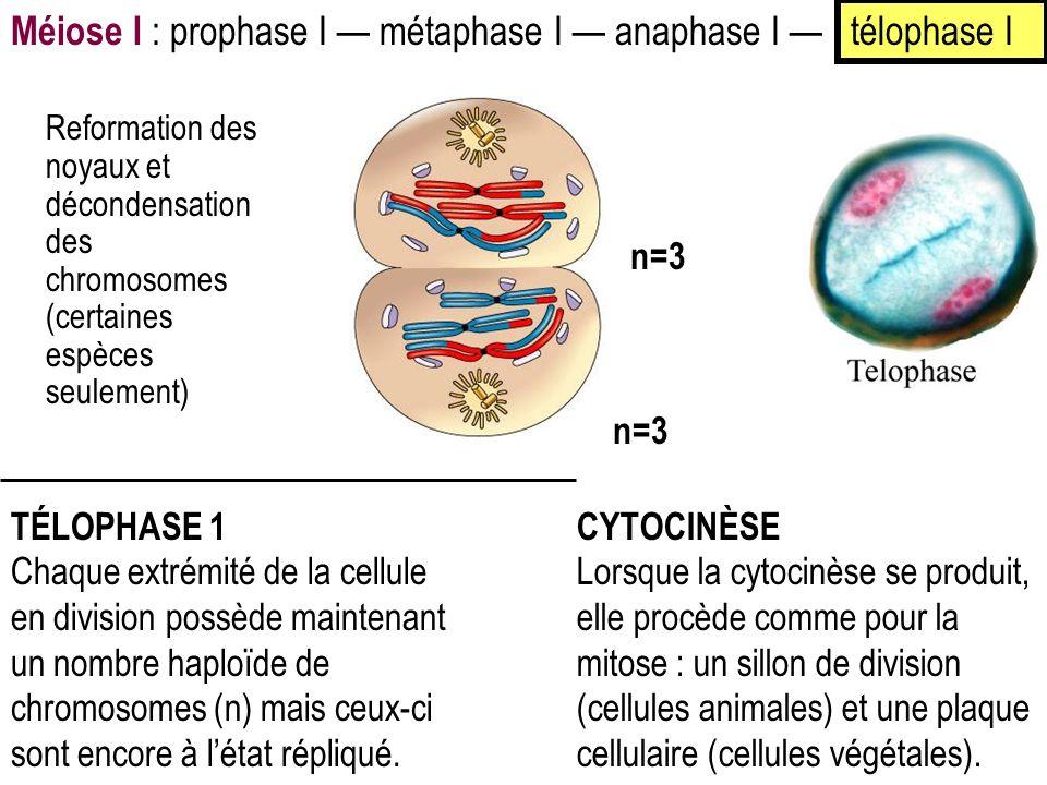 Méiose I : prophase I — métaphase I — anaphase I — télophase I