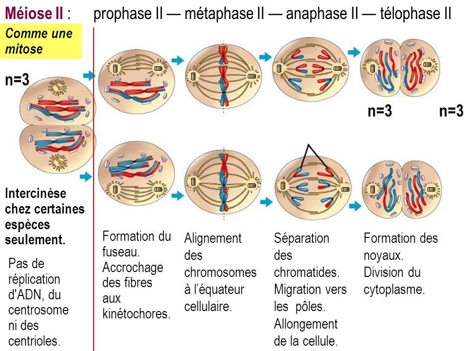 Méiose II : prophase II — métaphase II — anaphase II — télophase II