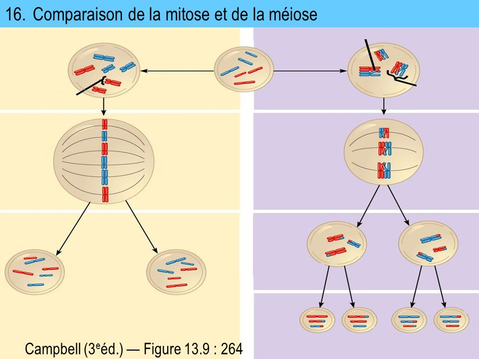 16. Comparaison de la mitose et de la méiose