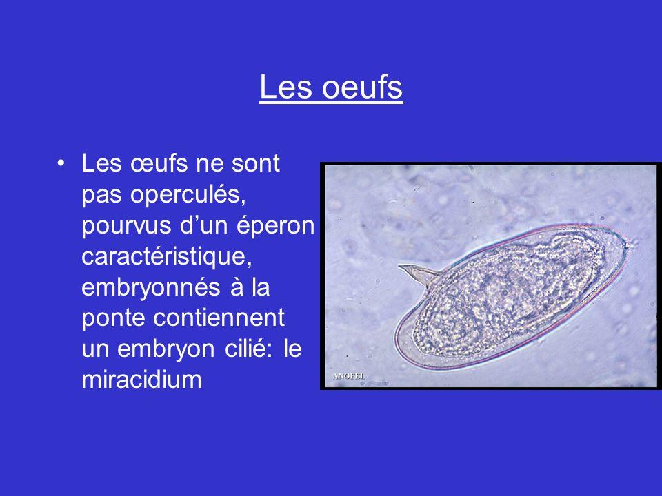 Les oeufs Les œufs ne sont pas operculés, pourvus d'un éperon caractéristique, embryonnés à la ponte contiennent un embryon cilié: le miracidium.