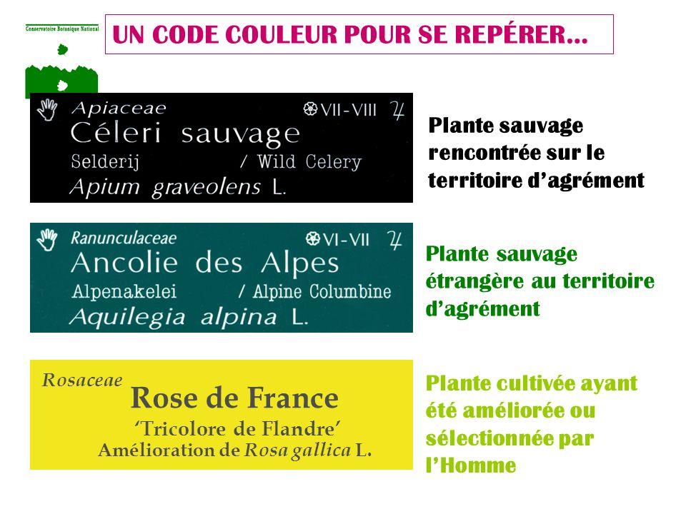'Tricolore de Flandre' Amélioration de Rosa gallica L.