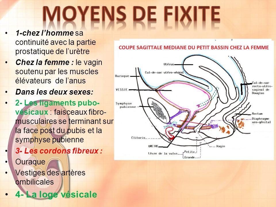 MOYENS DE FIXITE 4- La loge vésicale