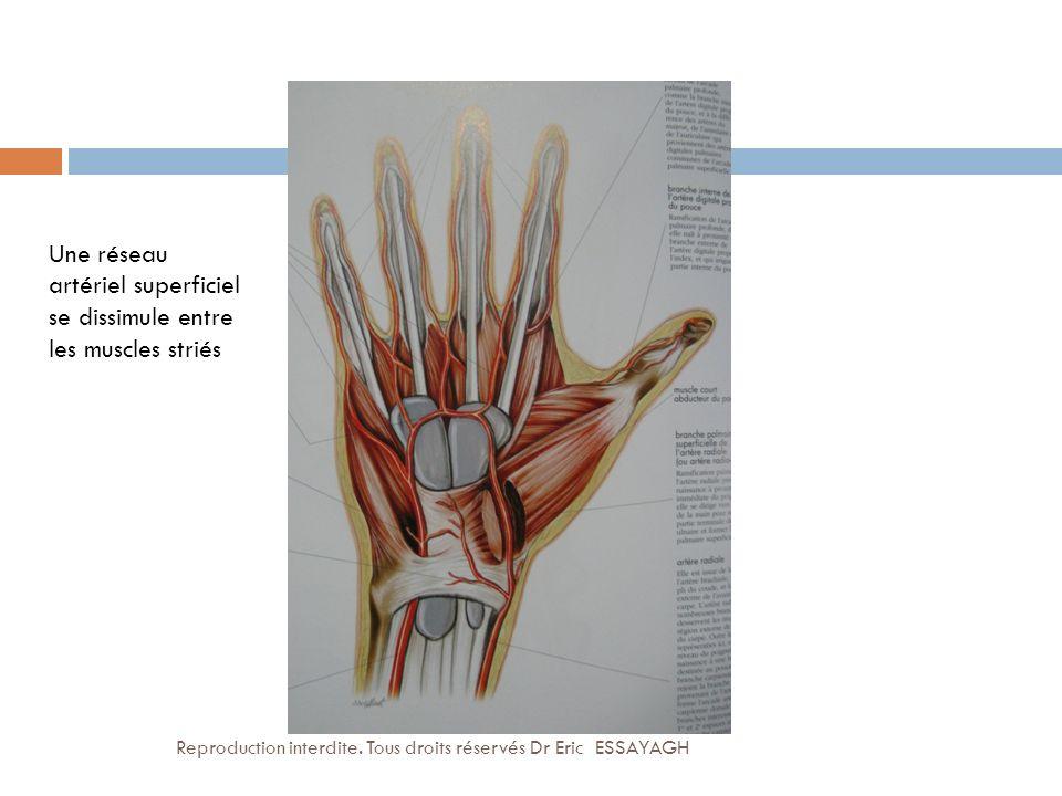 Une réseau artériel superficiel se dissimule entre les muscles striés