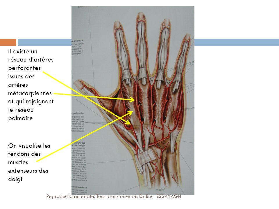 On visualise les tendons des muscles extenseurs des doigt
